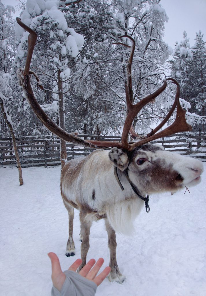 Kiruna Reindeer